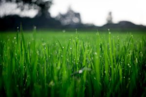 Close up shot of bright green grass in a back yard.