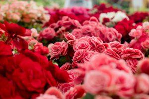 Garden full of pink roses.